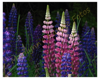 Lupine Flowers in Bloom – Three Princesses
