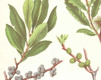 1878 Antique Botanical Print Lithograph Original Book Plate Sweet Fern