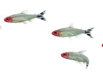 """School of Rummy Nose Tetras Print, Freshwater Tropical Aquarium Fish Decoration, Panoramic 12"""" x 4"""" Print, Red, Black and White"""