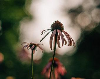 Digital Photography Cone Flower Print 8x12
