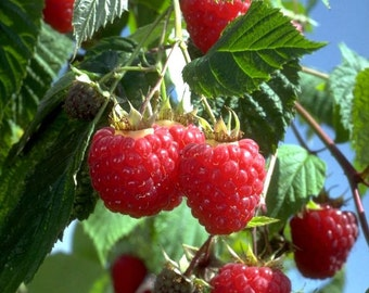 1 Heritage - Red Raspberry Plant - Everbearing - Fall Shipping
