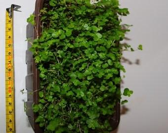 Mind-your-own-business/Babys Tears (Soleirolia soleirolii) in a 13cmx18cmPunnet-37cmx23cm Seed Tray.