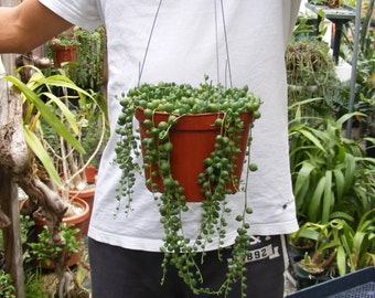 String of Pearls Succulent-Senecio - approx. 5 inch Hanging pot