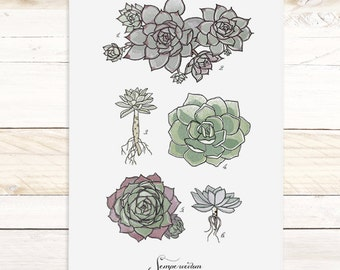 Sempervivum - Succulent large Watercolor wall hanging, wood trim art printed on textured cotton canvas. Vintage Science Poster chart Vol.1
