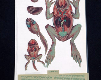 Frog Anatomy Illustrations- frog color transparencies, amphibian, science, biology illustration, frog color plates, frog disection