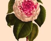 antique french botanical print pink camellia flower illustration digital download