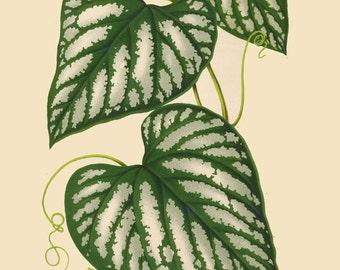 antique french botanical print cissus lindeni tropical vine illustration digital download