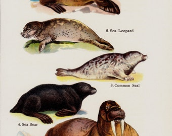 1909 Antique print of seal, sea lion, sea leopard, sea bear, walrus, lithograph + 100 years older