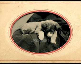 Excellent Antique 1870s 1/6 Tintype Photo of a Sleeping Puppy