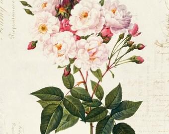 Vintage Botanical Floral on French Ephemera Print, Vintage Rose Print 8x10 P316