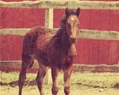 Foal, Animals, Photography Print, 5x7 + More Sizes, Colt, Nursery Wall Art, Horses, Home Decor, Barnyards, Farms, Ranches