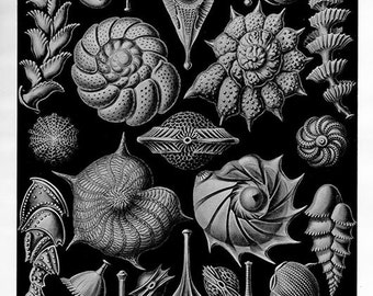 1960s Ocean Print Marine Foraminifera antique Protozoa lithograph bookplate 40 years old 1900s lithographic print 81