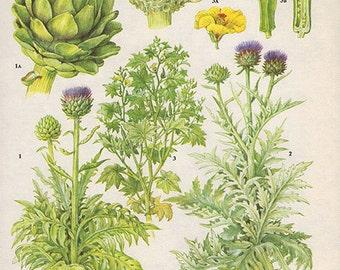 Botanical Fruits ARTICHOKE OKRA Print edible plants kitchen vintage decor wall art garden illustration 165