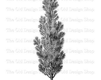 Pine Tree Clip Art Vintage Printable Botanical Pinus Sylvestris Fastigiata Illustration Digital Download PNG JPG Image