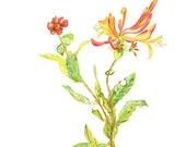 Honeysuckle, Lonicera, Bine, Pianta rampicante, Enredadera, Fragance plant, Parfume plant, Lonicera hispidula
