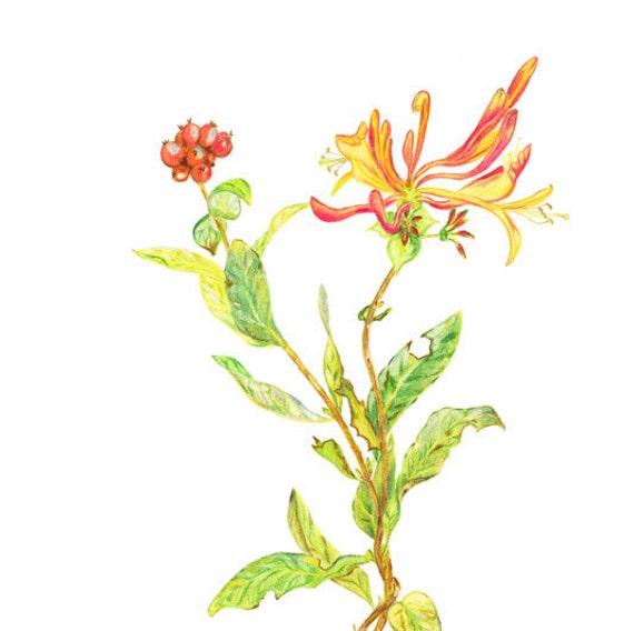 Honeysuckle, LIMITED EDITION, Lonicera, Pianta rampicante, Fragance plant, Parfume plant, Lonicera hispidula, Honey-Suckle, Honeysuckle Art