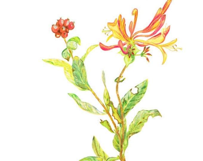 Honeysuckle, LIMITED EDITION, Lonicera, Pianta rampicante, Fragance plant, Parfume plant, Lonicera hispidula, Honey-Suckle, Honeysuckle Art