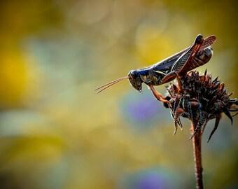 Grasshopper Photograph, Autumn Golden Yellow Gold Fall Photography, Nature Horizontal Wall Art, Summertime Fine Art Nature Photo Print