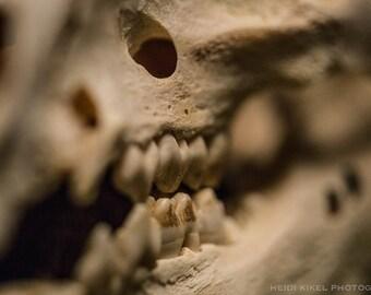 Pig Skull Teeth - PHOTO PRINT