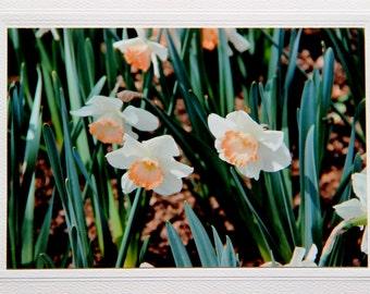 Daffodil flowers, most popular floral, blank greeting card, sympathy card, flower bulbs, photo note card, birthday card, condolence card