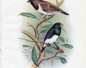 1899 Antique Bird Print Mannikin Lithograph Nature Frohawk Vintage Bird Decor Vintage Bird Print