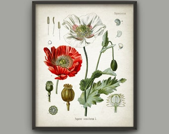 Opium Poppy Plant Print - Red Poppy Decor - Papaver Somniferum - Medicinal Plant - Morphine - Codeine - Kitchen Botanical Print - AB544