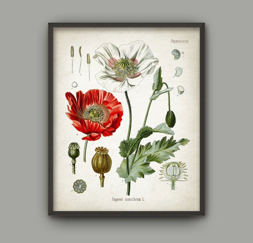 Opium Poppy Plant Print Red Poppy Decor Papaver Somniferum