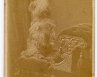 1880s Begging Terrier Dog CDV Photos Carte de Visite Antique Vintage Victorian Pet Yorkshire Terrier