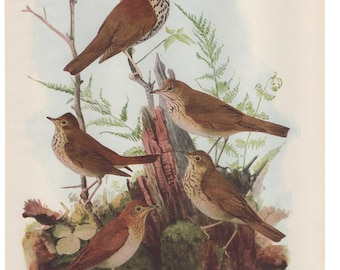 Vintage Print Birds North America Thrush Color Book Plate 1950s