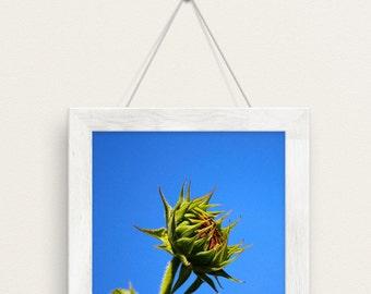 sunflower, yellow, blue, fall, autumn, flowers, green meadows farm, south hamilton, massachusetts, photography, fine art print