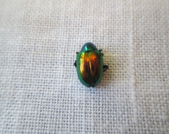 Bug Specimen, Real Tiny Metallic Green Beetles, Chrysochus auratus, Tiny Metallic Green Beetles