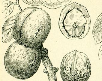1922 Antique Walnut print, Vintage Botanical print, Larousse illustration