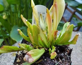 "Carnivorous plant Sarracenia purpurea ""Yellow Jacket"" bare root rhizome"