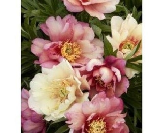 Itoh Peony Julia Rose ~ SHIPPING BEGINS Early October