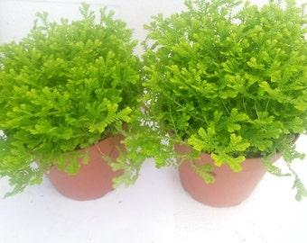 """Two Frosty Fern Spike Moss - Selaginella - 2.5"""" Pot (FREE SHIPPING!)"""