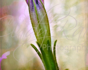 Flower, Photography, Print, Under 10 Dollars, 8x10, Petunia, Macro, Soft, Floral