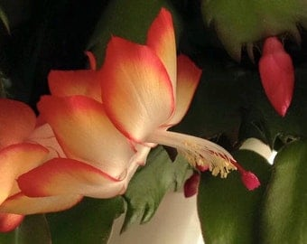 "PHOTO #2: Beautiful Digital photo of Thanksgiving Cactus ""Samba Brazil"""