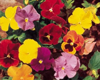 Pansy Trimardeau Giant Pansy Flower Mix 25Seeds