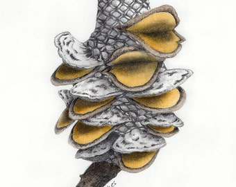 Banksia Seed Pod Drawing #1