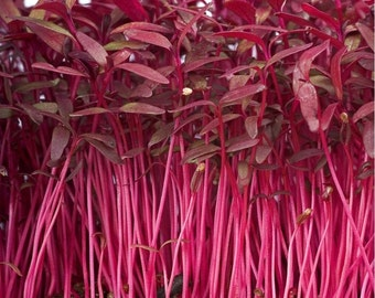 Amaranth Red Garnet Sprouting (select 1000 thru 1/2 LB seeds) Microgreens #197