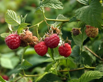2 September - Red Raspberry Plant - Everbearing - Organic