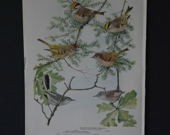 1936 Birds of America Vintage Bird Print Original Book Page - Kinglets Gnatcatchers Chickadees Nuthatches and Titmouse