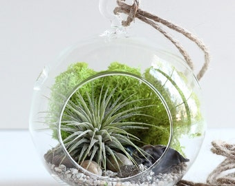 Air terrarium + air plant