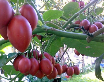 20 tamarillo (tree tomato) seeds