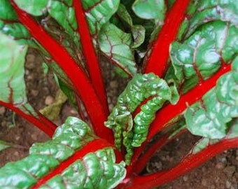 Red Swiss Chard Herb Seeds/Beta Vulgaris/Biennial  50+
