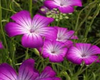 Purple Queen Agrostemma Flower Seeds/Githago/Annual  50+