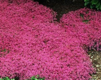 Creeping Thyme Pink Magic Carpet Flower Seeds/Perennial  50+