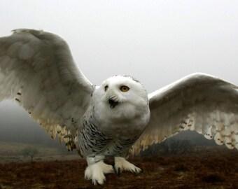 Owl flight picture