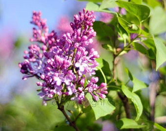 Purple lilac photograph