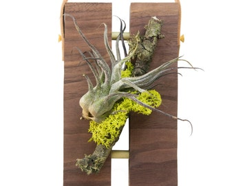 Air Plant on Walnut